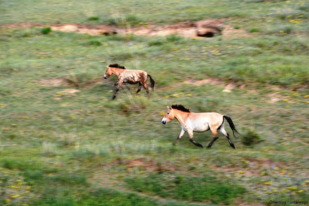 160705-122-khustayn-natpark-przewalskipferd