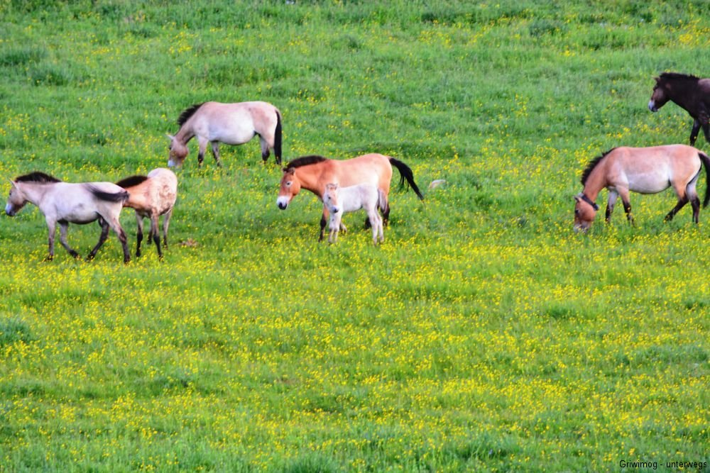 160705-139-khustayn-natpark-przewalskipferd