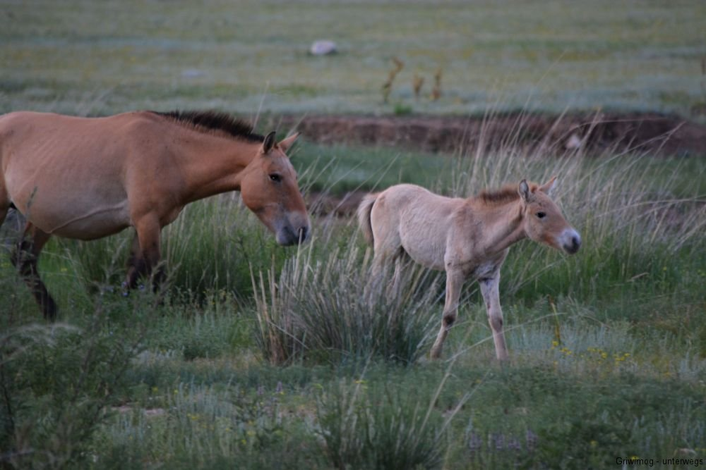 160705-165-khustayn-natpark-przewalskipferd