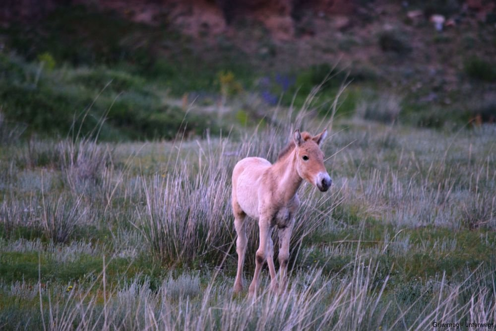 160705-173-khustayn-natpark-przewalskipferd