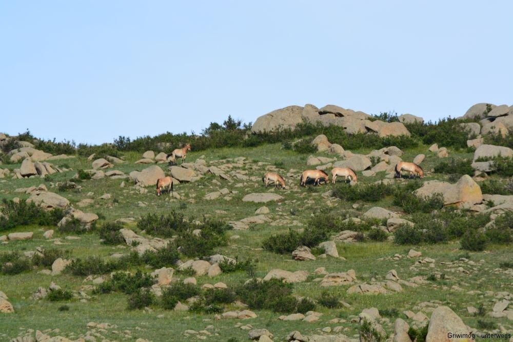 160705-28-khustayn-natpark-przewalskipferd